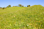 Low angle view of grassy chalk scarp slope, with daisies, Compton Bassett, Wiltshire, England, UK