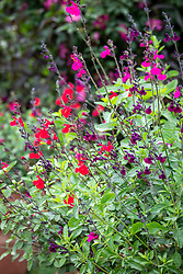 Salvia microphylla 'Cerro Potosí', Salvia × jamensis 'Nachtvlinder' and Salvia 'Jezebel'