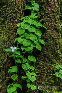 Trillium and Lady of the Valley grow on douglas fir tree in Olympic National Park, Washinton, USA
