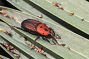 Adult red palm weevil (Rhynchophorus ferrugineus) a species of snout beetle also known as the Asian palm weevil or sago palm weevil.  Weevil larvae can excavate holes in the trunk of a palm trees up to a metre long, thereby weakening and eventually killing the host plant. As a result, the weevil is considered a major pest in palm plantations, including the coconut palm, date palm and oil palm