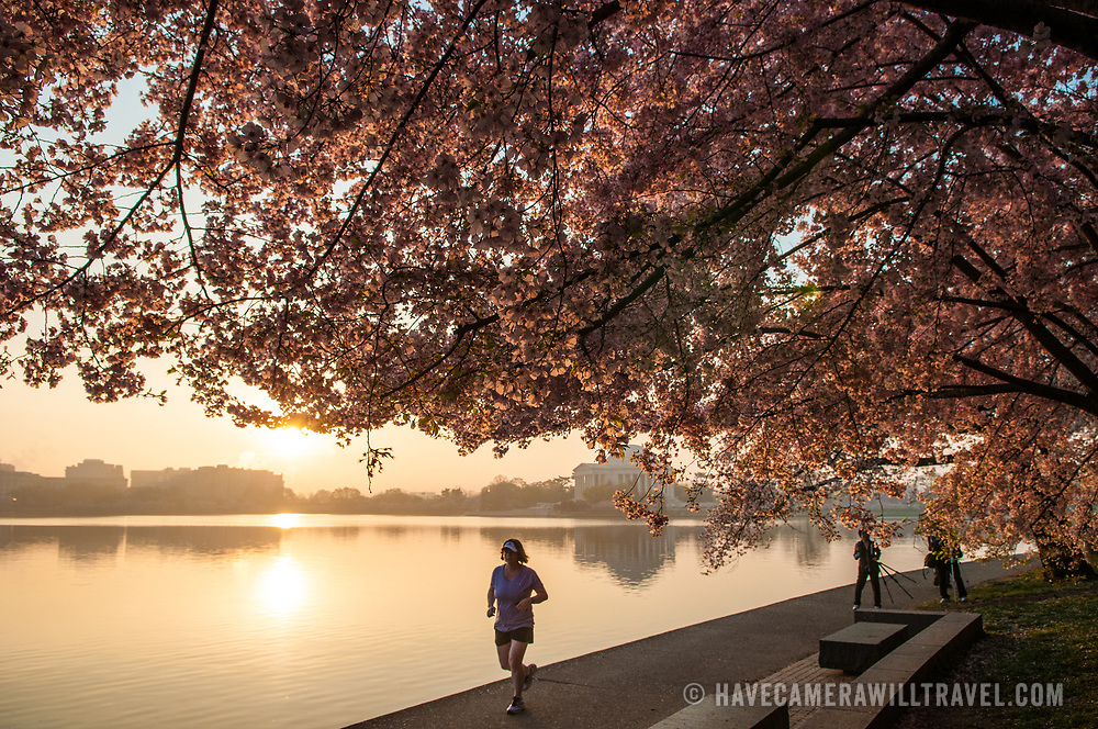 A jogger runs along the path along the Tidal Basin just after sunrise. The In the distance in center of frame is the Jefferson Memorial, with the cherry blossom trees in bloom at top and right. The Yoshino Cherry Blossom trees lining the Tidal Basin in Washington DC bloom each early spring. Some of the original trees from the original planting 100 years ago (in 2012) are still alive and flowering. Because of heatwave conditions extending across much of the North American continent and an unusually warm winter in the Washington DC region, the 2012 peak bloom came earlier than usual.