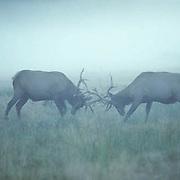 Elk, (Cervus elaphus) Two bulls fighting over cow harem and territory. Foggy day. Canadian Rockies. Rut