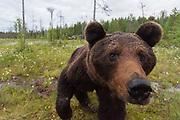 A curious European brown bear, Ursus arctos, investigating a  camera trap, Kuhmo, Finland.