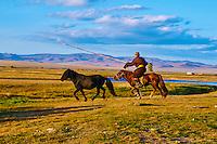 Mongolie, Asie Centrale, Region d'Arkhangai, Cavalier attrapant un cheval à la corde, rodeo, dressage des jeunes chevaux // Mongolia, Central Asia, Arkhangai Province, nomad horseman catch a horse, training a young horse
