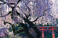 Cherry Blossoms, Brooklyn Botanic Garden, Brooklyn, New York, Japanese Hill and Pond Garden