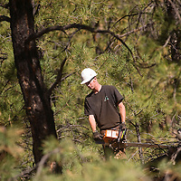 100212       Brian Leddy<br /> Andrew Fennell clears small trees in the Zuni Mountains near Post Office Flats Tuesday, Oct. 2. While a timber harvesting machine handles the large trees, men on foot clear the small trees with chainsaws.