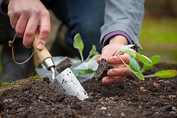 Planting out spring cabbage plug plants with a trowel. Brassica oleracea.