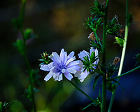 Chicory Flower. Image taken with a Fuji X-H1 camera and 80 mm f/2.8 macro lens + 1.4x teleconverter