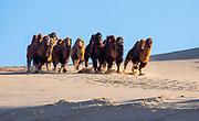 Bactrian camels of the Gobi Desert (Camelus bactrianus) running down a sand dune in Mongolia with long, shaggy fur in the winter, Gobi Desert, Mongolia