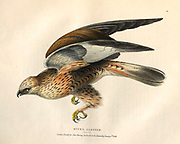 Rough-legged buzzard (Buteo lagopus) color plate of North American birds from Fauna boreali-americana; or, The zoology of the northern parts of British America, containing descriptions of the objects of natural history collected on the late northern land expeditions under command of Capt. Sir John Franklin by Richardson, John, Sir, 1787-1865 Published 1829