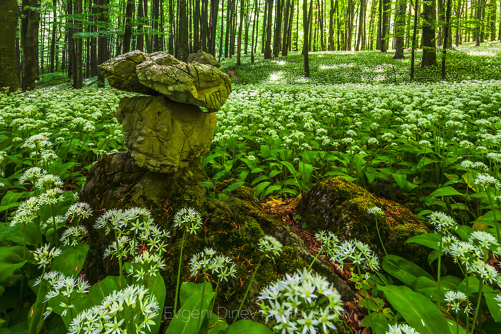 Steneto forest reserve in Balkan Mountains