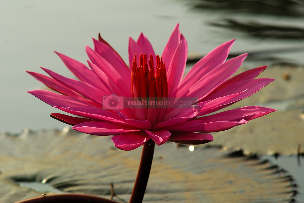 February 5, 2018 - Indonesia - The flower is in the stalk which is an extension of the rhizomes. Flower diameter between 5-10 cm. (Credit Image: © Sabirin  Manurung/Pacific Press via ZUMA Wire)