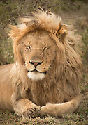 Nature photograph of an adult male lion (Panthera leo) lying on the ground, Ngorongoro Conservation Area, Tanzania