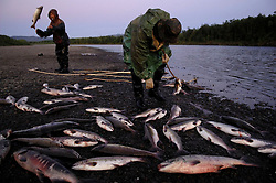 Koryak men who have been hired as salmon caviar poachers gather spawning fish along the Vyvenka river near Khailinina in Northern Kamchatka. Poaching is one of the biggest dangers to wild salmon. Since salmon eggs are in high demand in some countries like Russia and far more lucrative than any other viable trade in the region, many see this as the only opportunity for survival. The result is a vast decrease among the salmon population. Over the years, demand for salmon has gone up, while the population of salmon has steadily gone down. If this growing trend continues, it may not be long before salmon are on the verge of extinction.