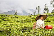 Female worker picking tea at the Gunung Mas Tea Estate, Puncak, West Java, Indonesia.
