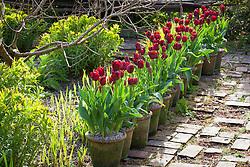 Pots of Tulipa 'Jan Reus' lining the brick path at Glebe Cottage