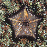 I have always loved starfish; they are such emblematic shoreline creatures. There are so many in the rich marine environment of Southeast Alaska, many of them like the sunstars very large. For obvious reasons they are one of the easiest marine creatures to photograph, and this particular species was best photographed on its striking underside. Now that I have my website up at long last I now have the extra incentive to identify the species of all the creatures that I have photographed, which is going to be very challenging especially for the invertebrates.