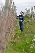 A vineyard worker doing winter pruning wearing sunglasses. Vinedos y Bodega Filgueira Winery, Cuchilla Verde, Canelones, Montevideo, Uruguay, South America