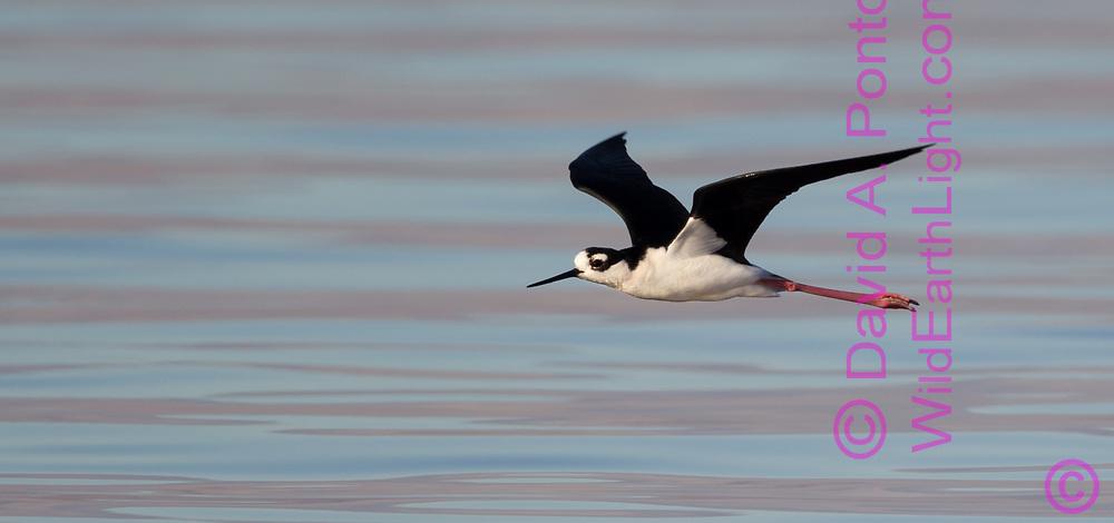Black-necked stilt in flight, with dawn light reflecting on gentle waves, Salton Sea, CA, © David A. Ponton