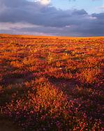 CADSE_102 - USA, California, North Algodones Dunes Wilderness, Sunset on desert sand verbena and dune evening primrose growing on edge of dunes.