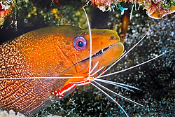 undulated moray, Gymnothorax undulatus, getting cleaned by scarlet cleaner shrimps, Lysmata amboinensis, Kona, Big Island, Hawaii, Pacific Ocean
