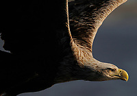 White-tailed Sea Eagle, Haliaeetus albicilla, Flatanger, Nord-Trondelag, Norway..White-tailed sea eagle Haliaeetus albicilla NORWAY/FLATANGER, NORD-TRÖNDELAGThe sea eagle is another real comeback species in Europe. Persecuted during centuries and finally almost lost to chemical pollutants in the 1970s, it is quickly reclaiming most of its former territories across Europe. In 2009 Norway hosted 4,000 pairs, Germany 530, Sweden 600, Finland 300, the UK 50 and Denmark 21 pairs. The sea eagle's comeback is a clear result of devoted work by individual citizens, businesses, NGOs and public agencies.Yes, we can make a difference. Nature conservation works.