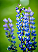 Blue Lupine flowers at Estancia Helsingfors in Patagonia. Image taken with a Nikon D3s camera and 70-300 mm VR lens (ISO 1600, 300 mm, f/5.6, 1/125 sec)