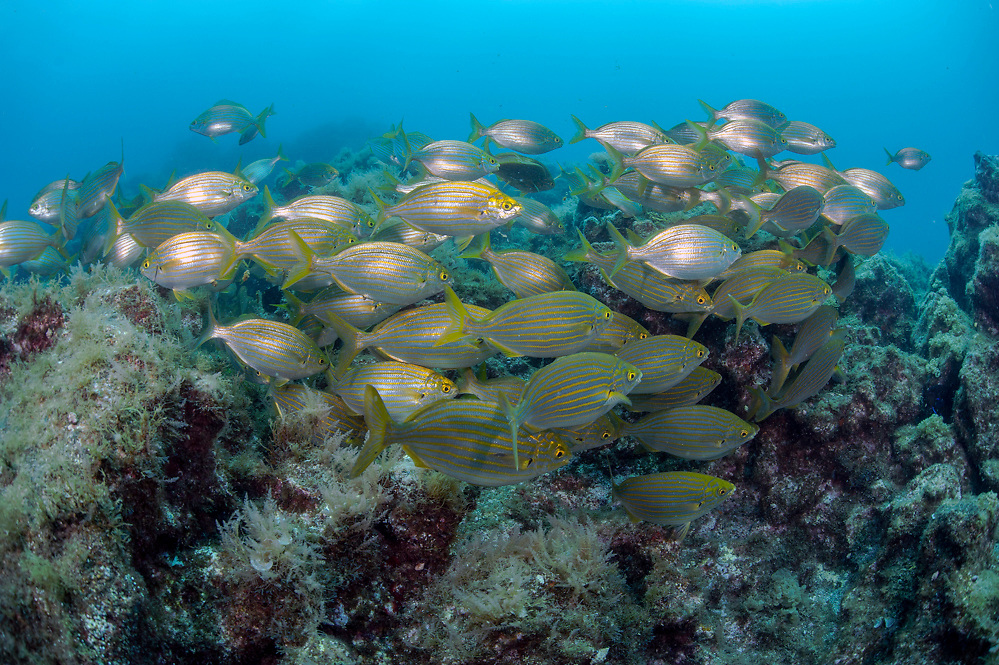 A school of Salema Porgy, Sarpa salpa, feeds on a rocky reef offshore Pico Island, Azores, Portugal, North Atlantic Ocean.