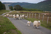 A flock of sheep heads home at the end of the day hearded by a black sheepdog along General Wade's Military Road.