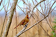 A female Northern Cardinal perched in a tree at the Bear Island Wildlife Management Area in Green Pond, South Carolina.