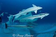 remoras or sharksuckers, Echeneis naucrates,  and bull sharks, Carcharhinus leucas, Playa del Carmen, Cancun, Quintana Roo, Yucatan Peninsula, Mexico ( Caribbean Sea )