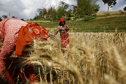 May 19, 2017 - Lalitpur, Nepal - Nepalese women farmers use sickle to harvest wheat in Lalitpur, Nepal on Friday, May 19, 2017. (Credit Image: © Skanda Gautam via ZUMA Wire)