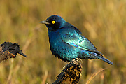 Cape glossy starling, Lamprotornis nitens, Limpopo, South Africa. Common bird in most parts of Southern Africa
