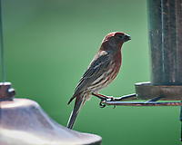 House Finch. Image taken with a Nikon D5 camera and 600 mm f/4 VR telephoto lens.