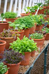 The winter salad leaf collection in a glasshouse at West Dean including Salad Rocket 'Victoria', Nasturtium 'Crimson Emperor' and Lettuce 'Red Salad Bowl'