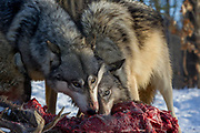 A pack of five gray wolves feed on a mature buck. Controlled scene with captive wolves.