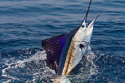 Vibrant colors glow on the skin of this Pacific Sailfish.