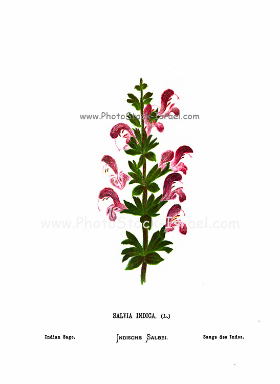 Indian sage (Salvia indica) From the book Wild flowers of the Holy Land: Fifty-Four Plates Printed In Colours, Drawn And Painted After Nature. by Mrs. Hannah Zeller, (Gobat); Tristram, H. B. (Henry Baker), and Edward Atkinson, Published in London by James Nisbet & Co 1876 on white background