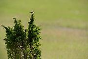 Eurasian skylark (Alauda arvensis) on Juniper; Witzenhausen, Germany | Feldlerche (Alauda arvensis); Wacholder-Landschaft, Witzenhausen, Deutschland