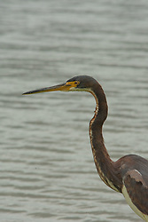 Tricolored Heron (Egretta tricolor), Windsor, Vero Beach, Florida, US