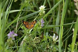 Pearl Crescent (orange & black) Butterfly<br /> <br /> Finfrock State Natural Habitat Area (Illinois)