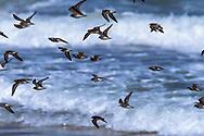 Shorebird flock in flight in front of breaking waves, Florida, © David A. Ponton