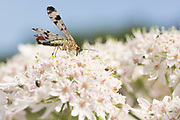 Scorpion fly (Panorpa communis) male on umbellifer. Dorset, UK.
