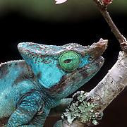 Parson's Chameleon,(Chamaeleo parsonii) Indigenous to Madagascar.