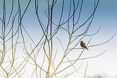 Falconiformes (Falcons)