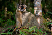 Common brown lemur (Eulemur fulvus) at Andasibe NP, eastern Madagascar.