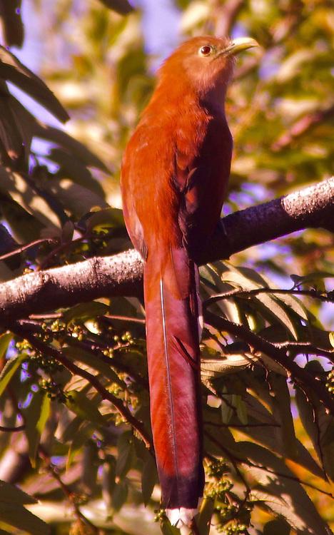 Costa Rica, Squirrel Cuckoo, piaya cayana, Monteverde Rain Forest