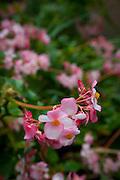Begonia, Enchanting Floral Gardens, Kula, Maui, Hawaii