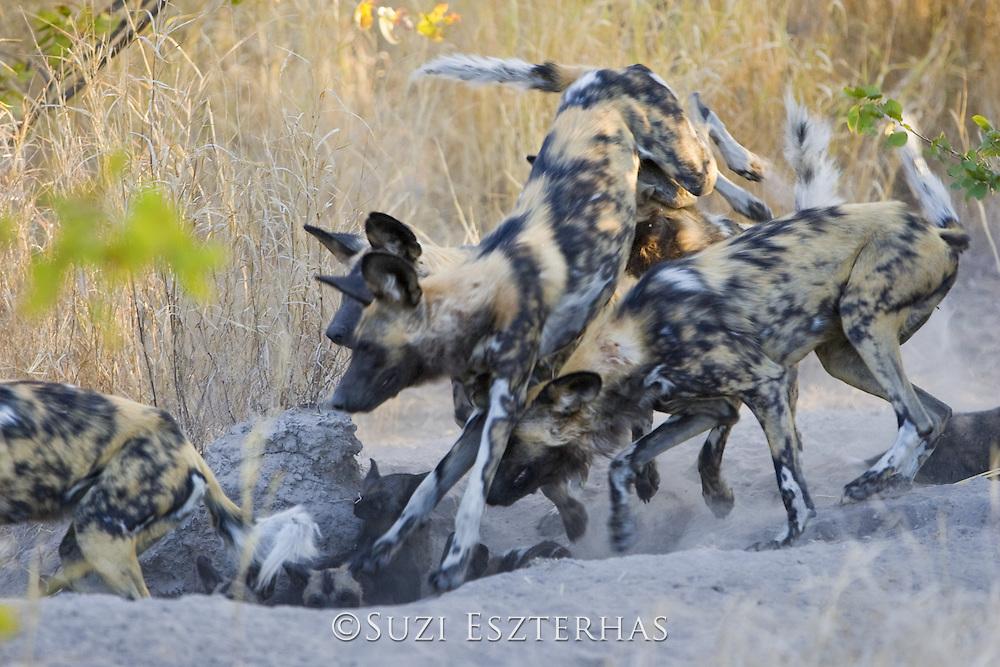 African Wild Dog <br /> Lycaon pictus <br /> Adult(s) chasing pup(s) back into den<br /> Okavango Delta, Botswana