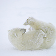 A sub-adult polar bear rolling in snow, playing with its feet. Churchill, Manitoba, Canada